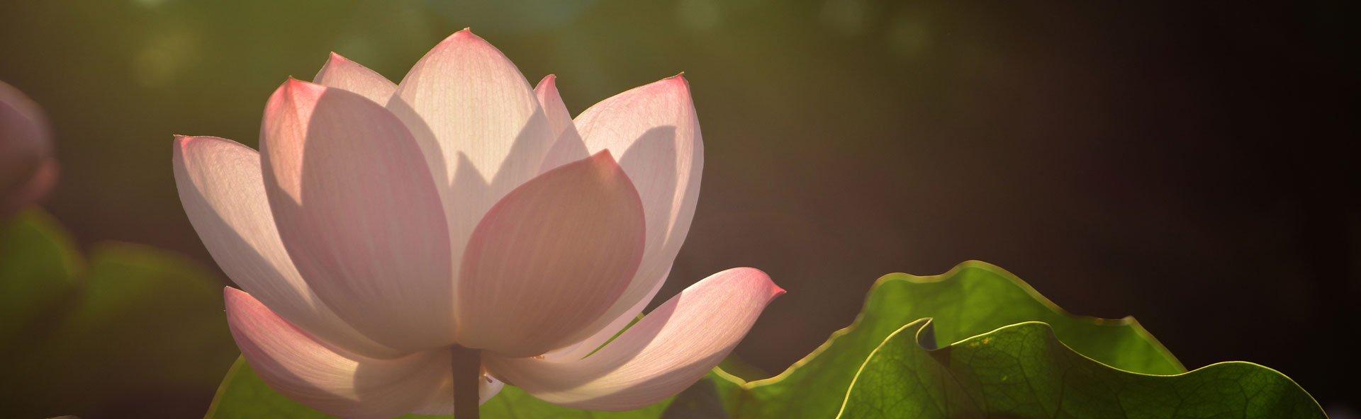 Beautiful Pink Lotus in Seoul